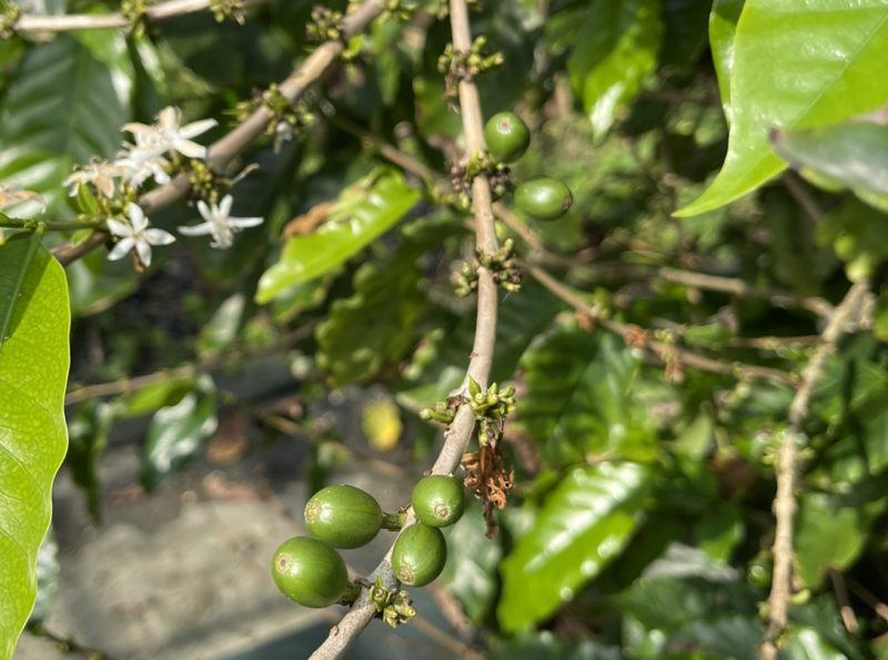 coffee cherry and flower